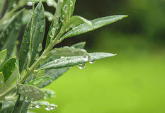 Πράσινα φύλλα ελιών Στοκ Φωτογραφίες