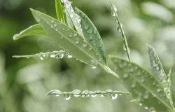 Πράσινα φύλλα ελιών Στοκ Εικόνες