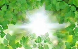Πράσινα φύλλα θερινών φρέσκα φύλλων με τις ακτίνες ήλιων απεικόνιση αποθεμάτων