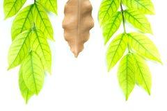 Πράσινα φύλλα και καφετιά φύλλα Στοκ Φωτογραφίες