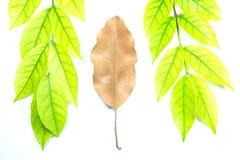 Πράσινα φύλλα και καφετιά φύλλα Στοκ Εικόνες