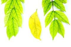Πράσινα φύλλα και καφετιά φύλλα Στοκ φωτογραφίες με δικαίωμα ελεύθερης χρήσης