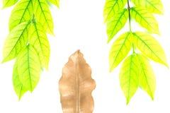 Πράσινα φύλλα και καφετιά φύλλα Στοκ εικόνες με δικαίωμα ελεύθερης χρήσης