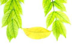 Πράσινα φύλλα και καφετιά φύλλα Στοκ εικόνα με δικαίωμα ελεύθερης χρήσης