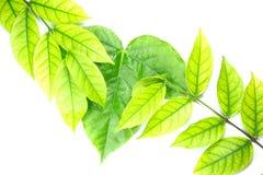 Πράσινα φύλλα και καφετιά φύλλα Στοκ φωτογραφία με δικαίωμα ελεύθερης χρήσης