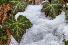 Πράσινα φύλλα κισσών μεταξύ του χιονιού Στοκ Εικόνα