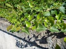 Πράσινα φύλλα κισσών σε έναν παλαιό τοίχο Στοκ φωτογραφίες με δικαίωμα ελεύθερης χρήσης
