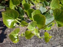 Πράσινα φύλλα κισσών σε έναν παλαιό τοίχο Στοκ φωτογραφία με δικαίωμα ελεύθερης χρήσης