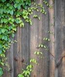 Πράσινα φύλλα κισσών στον ξύλινο τοίχο στοκ εικόνες