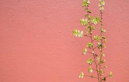 Πράσινα φύλλα κισσών στον πορτοκαλή, κόκκινο τοίχο τσιμέντου στοκ φωτογραφία με δικαίωμα ελεύθερης χρήσης