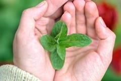Πράσινα φύλλα μεντών στους θηλυκούς φοίνικες Στοκ εικόνες με δικαίωμα ελεύθερης χρήσης