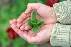 Πράσινα φύλλα μεντών στους θηλυκούς φοίνικες Στοκ φωτογραφίες με δικαίωμα ελεύθερης χρήσης