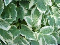 Πράσινα φύλλα με τα άσπρα σύνορα Στοκ Εικόνες