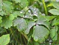Πράσινα φύλλα με τα σταγονίδια Στοκ Εικόνα