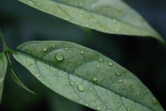 Πράσινα φύλλα με τη δροσιά Στοκ Εικόνα
