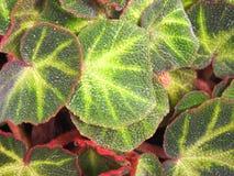 Πράσινα φύλλα με τις κόκκινες άκρες και τις κίτρινες φλέβες στοκ φωτογραφία με δικαίωμα ελεύθερης χρήσης