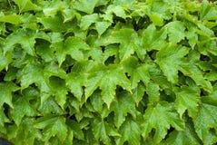Πράσινα φύλλα με τις πτώσεις του νερού Στοκ εικόνες με δικαίωμα ελεύθερης χρήσης