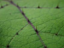 Πράσινα φύλλα με το αγκάθι στοκ εικόνα