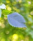 Πράσινα φύλλα με το κίτρινο bokeh υποβάθρου Στοκ φωτογραφία με δικαίωμα ελεύθερης χρήσης
