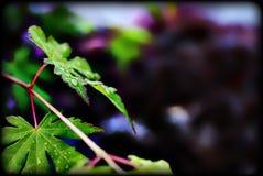 Πράσινα φύλλα με το πορφυρό υπόβαθρο bokah Στοκ φωτογραφίες με δικαίωμα ελεύθερης χρήσης