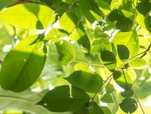 Πράσινα φύλλα με το φως ήλιων Στοκ Εικόνες
