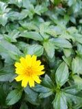 πράσινα φύλλα λουλουδι Στοκ Εικόνες