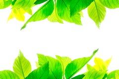 Πράσινα φύλλα που απομονώνονται στο άσπρο υπόβαθρο Στοκ Εικόνα