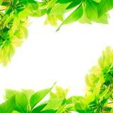 Πράσινα φύλλα που απομονώνονται στο άσπρο υπόβαθρο Στοκ Φωτογραφία