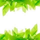 Πράσινα φύλλα που απομονώνονται στο άσπρο υπόβαθρο Στοκ εικόνα με δικαίωμα ελεύθερης χρήσης