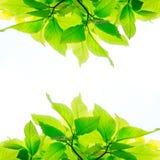 Πράσινα φύλλα που απομονώνονται στο άσπρο υπόβαθρο Στοκ φωτογραφία με δικαίωμα ελεύθερης χρήσης