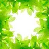 Πράσινα φύλλα που απομονώνονται στο άσπρο υπόβαθρο Στοκ Εικόνες
