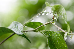 Πράσινα φύλλα σε έναν φωτεινό ήλιο με τις πτώσεις βροχής Στοκ εικόνα με δικαίωμα ελεύθερης χρήσης