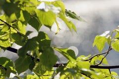 Πράσινα φύλλα σε ένα δέντρο Στοκ Εικόνα