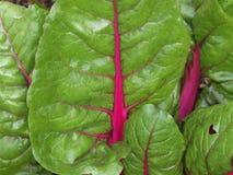 Πράσινα φύλλα σπανακιού Στοκ φωτογραφία με δικαίωμα ελεύθερης χρήσης
