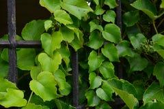 Πράσινα φύλλα στην πύλη Στοκ εικόνα με δικαίωμα ελεύθερης χρήσης