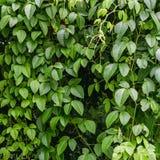 Πράσινα φύλλα στη φύση Στοκ Εικόνες