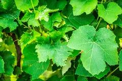 Πράσινα φύλλα στον κήπο Στοκ Φωτογραφίες