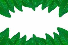 Πράσινα φύλλα στο άσπρο υπόβαθρο Στοκ Εικόνες