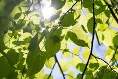 Πράσινα φύλλα στο υπόβαθρο του ηλιόλουστου ουρανού στοκ φωτογραφία