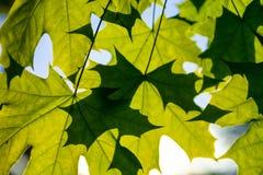 Πράσινα φύλλα σφενδάμου στην ηλιοφάνεια Στοκ Εικόνες