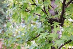 Πράσινα φύλλα σφενδάμου στους κλάδους ενός δέντρου Στοκ Φωτογραφίες