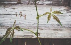 Πράσινα φύλλα του αναρριχητικού φυτού της Βιρτζίνια Στοκ Φωτογραφία