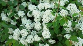 Πράσινα φύλλα του θάμνου με τα άσπρα λουλούδια φιλμ μικρού μήκους