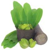 Πράσινα φύλλα του ιατρικού arjuna Terminalia με τα φρούτα Στοκ φωτογραφίες με δικαίωμα ελεύθερης χρήσης