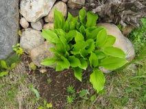 Πράσινα φύλλα του κρίνου της κοιλάδας Στοκ φωτογραφίες με δικαίωμα ελεύθερης χρήσης