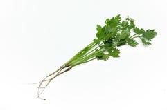 Πράσινα φύλλα του μαϊντανού με τις ρίζες Στοκ Εικόνες
