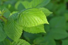 Πράσινα φύλλα του σμέουρου Στοκ Εικόνα
