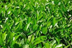 Πράσινα φύλλα του φυτού Στοκ εικόνες με δικαίωμα ελεύθερης χρήσης