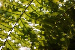 Πράσινα φύλλα του φυλλώματος Στοκ Εικόνα