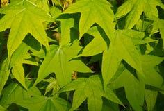 Πράσινα φύλλα του parthenocissus Στοκ Εικόνες